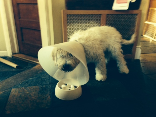 Puppy wears a cone after neutering on carpoolcandy.com