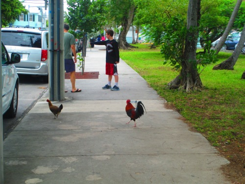 Key West chickens on street on carpool candy.com