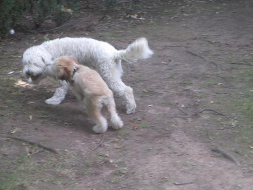 golden doodle loves wheaton terrier puppy on carpoolcandy.com