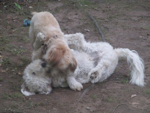 golden doodle loves wheaton terrier puppy on carpoolcandy.com